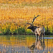 Fall Elk Reflection Poster