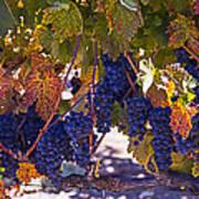 Fall Grape Harvest Poster