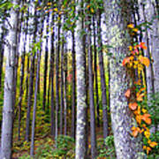 Fall Ivy In Pine Tree Forest Poster