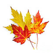 Fall Maple Leaves On White Poster