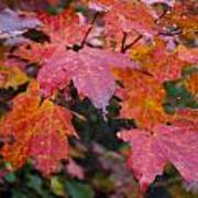 Fall Maples Poster