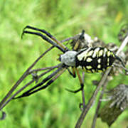 Fall Meadow Spider - Argiope Aurantia Poster