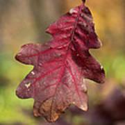 Fall Oak Leaf Poster