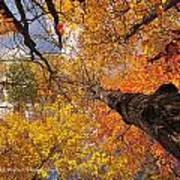 Fall Poplar Leaves Yellows Oranges 2899 Poster