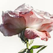 Fall Rose Poster