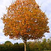 Fall Sugar Maple Poster