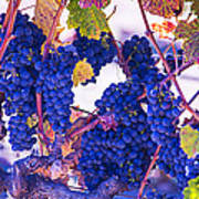 Fall Wine Grapes Poster