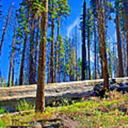 Fallen Sequoia In Mariposa Grove In Yosemite National Park-california Poster