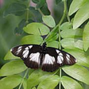 False Diadem Butterfly Poster