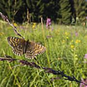 False Heath Fritillary In Meadow Bavaria Poster