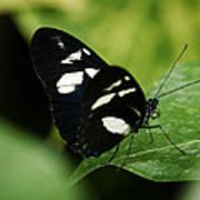 False Zebra Longwing Butterfly Poster