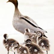 Family Of Ducks Poster