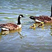 Family Of Geese Out For A Swim Poster