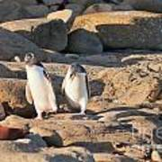 Family Of Nz Yellow-eyed Penguin Or Hoiho On Shore Poster