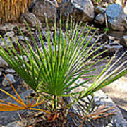Fan Palm Leaf Over Andreas Creek In Indian Canyons-ca Poster