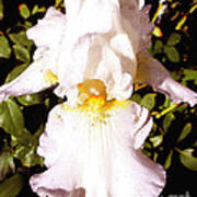 Fancy Lady White Iris Poster