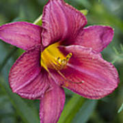 Fancy Red Wine Daylily Poster
