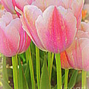 Fantasy In Pink - Tulips Poster