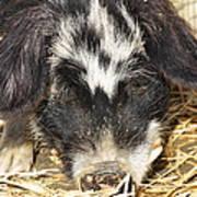 Farm Pig 7d27361 Poster