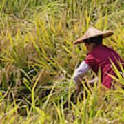 Farmer Harvesting Rice On The Terrace Poster