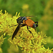 Feather-legged Fly On Goldenrod - Trichopoda Poster
