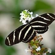 Feeding Zebra Butterfly Poster