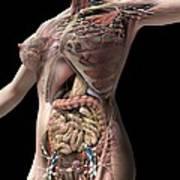 Female Anatomy, Artwork Poster
