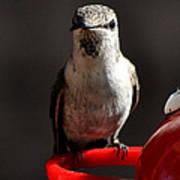Female Anna Hummingbird Poster