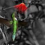 Female Anna's Hummingbird Poster by Old Pueblo Photography