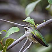 Female Anna's Hummingbird Poster