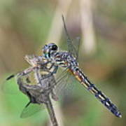 Female Blue Dasher In July  Poster