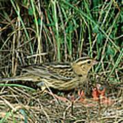 Female Bobolink At Nest Poster