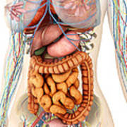 Female Body Showing Digestive Poster