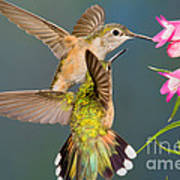 Female Broad-tailed Hummingbird Poster