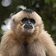 Female Buff-cheeked Gibbon Poster