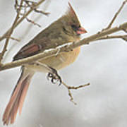 Female Cardinal In Snow 02 Poster