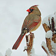Female Cardinal In The Snow Poster by Sandy Keeton