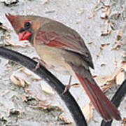 Female Cardinal Poster by John Kunze