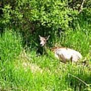 Female Deer Resting Poster