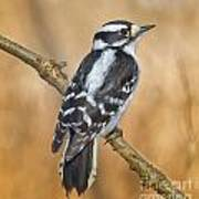 Female Downey Woodpecker Poster