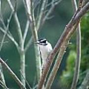 Female Downy Woodpecker Poster