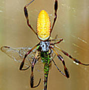 Female Golden Silk Spider Eating Poster