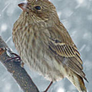 Female House Finch In Snow 1 Poster