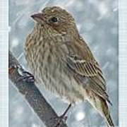 Female House Finch In Snow Poster