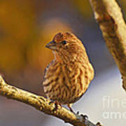 Female Housefinch Poster