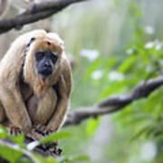 Female Howler Monkey Poster