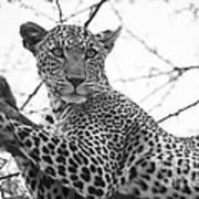 Female Leopard Poster