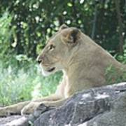 Female Lion On Guard Poster
