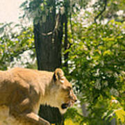 Female Lion On The Move Poster