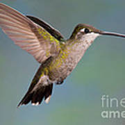 Female Magnificent Hummingbird At Flower Poster